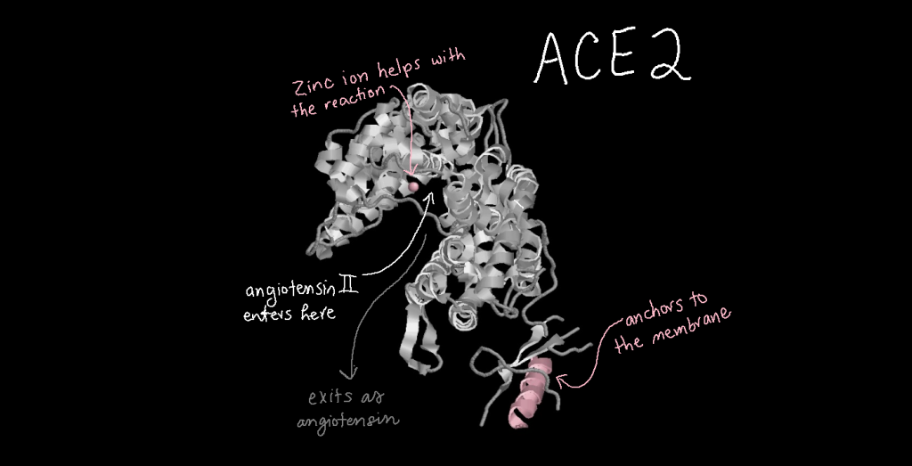 Three-dimensional structure model of ACE2. One helix at the bottom is colored pink and is responsible for anchoring ACE2 to the cell membrane. The cleft where angiotensin II enters/angiotensin exits is pointed out. There is a Zinc ion in this cleft which helps with the reaction.