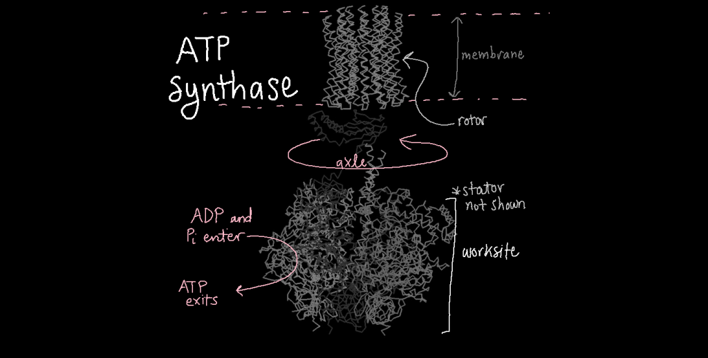 Three-dimensional structure model of ATP synthase. The rotor, a cylinder shaped region made from helices, anchors ATP synthase into the inner mitochondrial membrane. The axle sticks out of the rotor and into the mitochondria. This part rotates within the worksite, which is a bell pepper-shape. ADP and phosphate enter the worksite where they are converted to ATP.