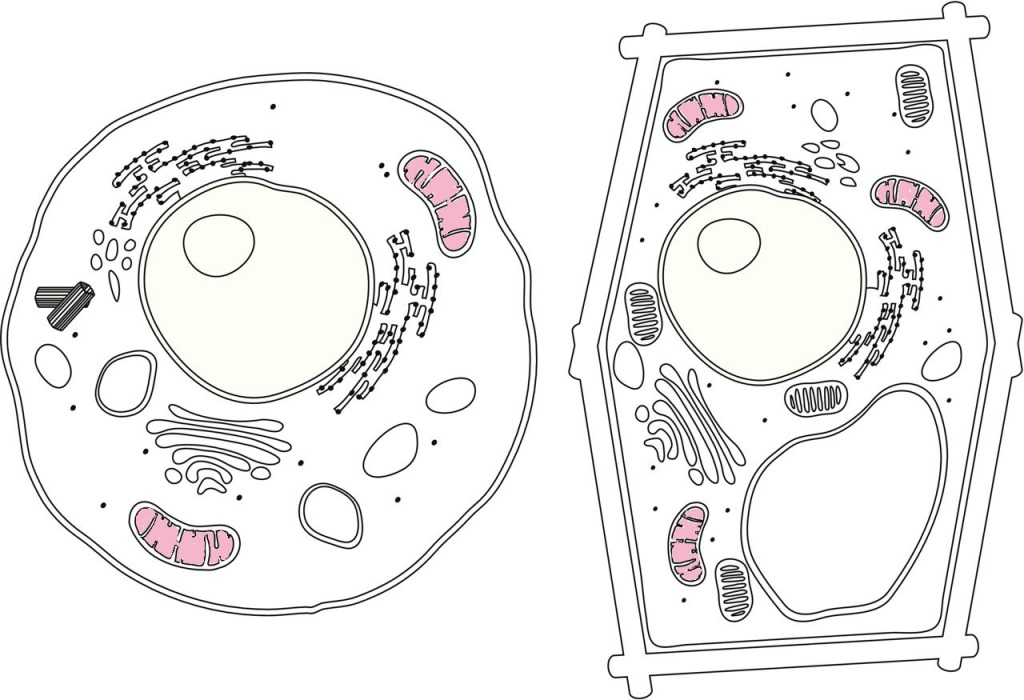 Diagram of a plant cell and an animal cell. Each have mitochondria, which are colored in pink.