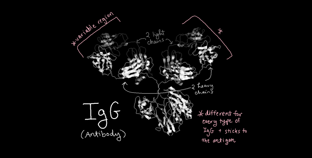Three-dimensional structure model of IgG. IgG has a characteristic Y shape with three protrusions. The tips of two protrusions are variable regions, which are different for every type of IgG and stick to the antigen. The other protrusion is constant.