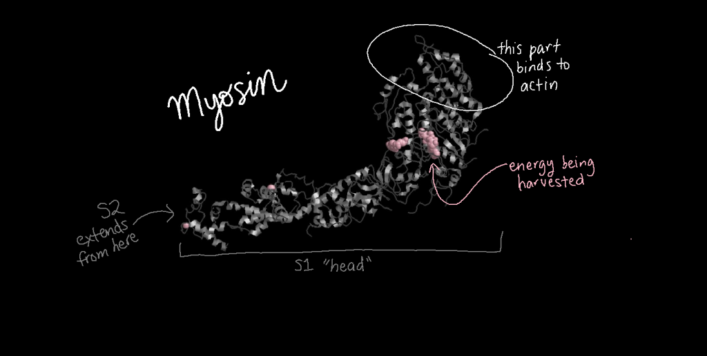 Three-dimensional structure model of myosin S1 (the head) showing where it binds to actin and where it gathers energy.