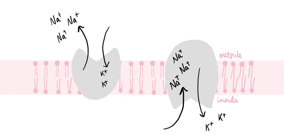 Diagram showing two forms of Na+/K+ ATPase. On the left, sodium ions are exiting the pump and potassium ions are entering. On the right, potassium ions are exiting the pump and sodium ions are entering.