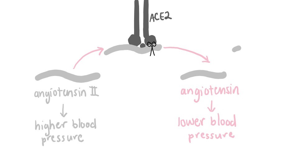 Diagram showing ACE2 converting angiotensin II into angiotensin. Angiotensin II triggers higher blood pressure, while angiotensin triggers lower blood pressure.