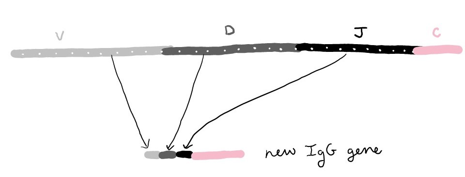 Diagram showing the available IgG genes on the top, which include several versions of V, D, and J. On the bottom is a new IgG gene which is made from one version of V, one version of D, and one version of J.