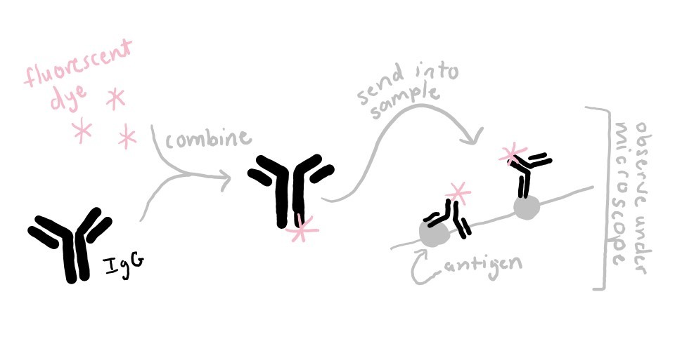 Diagram showing the workflow of fluorescent antibody labeling. In step 1, fluorescent dye and IgG are combined to make a fluorescent antibody. In step 2, the fluorescent antibody is sent into the sample where it binds to its antigen. In step 3, the antibody-labeled sample in observed under a microscope.