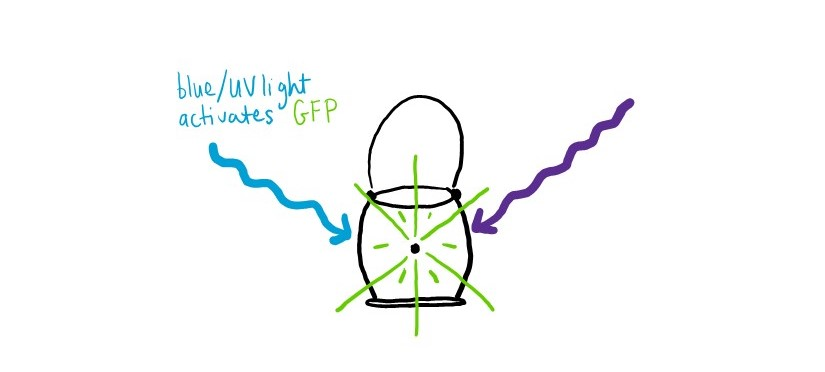 GFP emits green light when activated by blue or UV light.