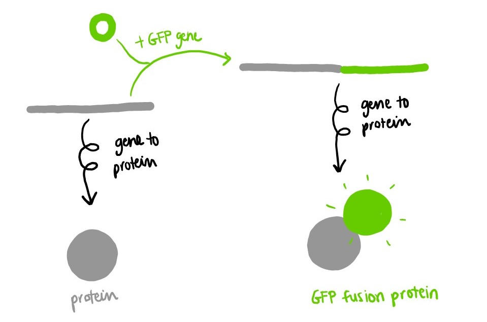 Combining the GFP gene with the gene of another protein yields a GFP fusion protein.