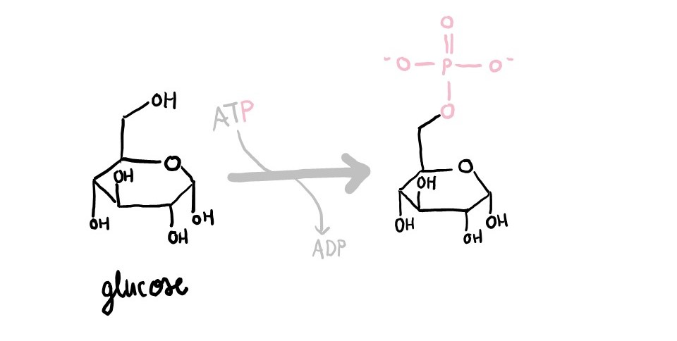 Hexokinase adds a phosphate group from ATP onto glucose.