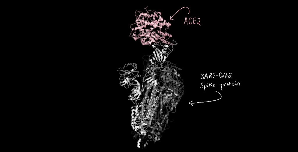 Three-dimensional structure model of ACE2 binding to the SARS-CoV-2 spike protein.