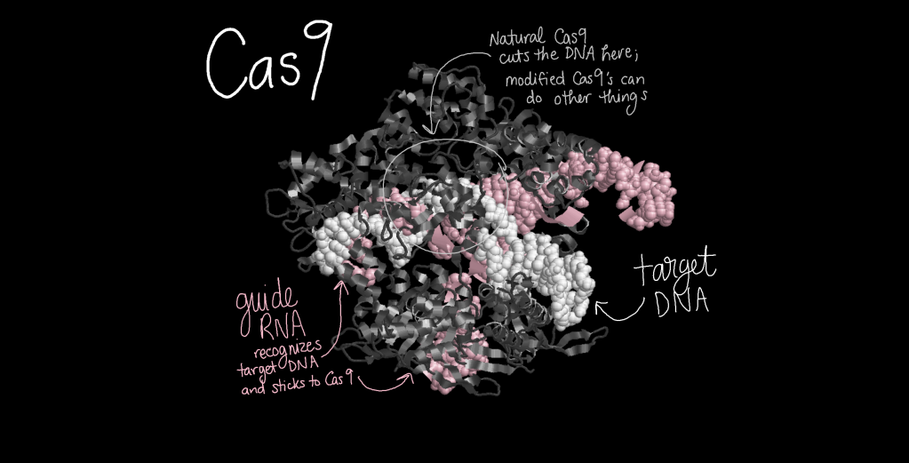 Three-dimensional structure model of Cas9 holding a piece of target DNA (white) matching its guide RNA (pink). The natural Cas9 cuts the DNA, but modified Cas9's can do other things.