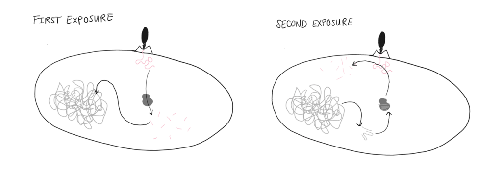 Left panel: First exposure to a virus. The viral DNA is recognized as foreign and cut up into pieces. Then, some pieces are saved into the bacteria's own DNA. Right panel: Second exposure. The bacteria's DNA creates guide RNAs that recognize viral DNA when it invades. These RNAs help tell Cas9 to destroy the viral DNA.