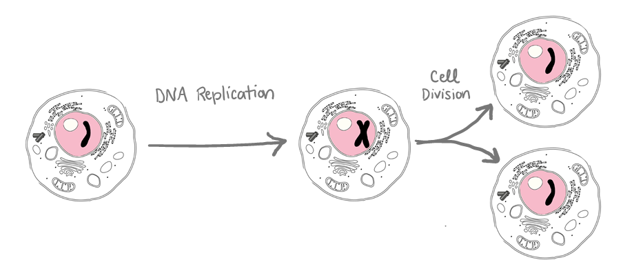 A sequence of events: 1. One cell with one copy of DNA.  2. DNA replication results in one cell with two copies of DNA. 3. Cell division results in two cells, each with one copy of DNA.