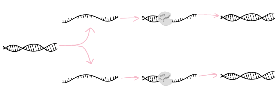Diagram of DNA replication process: 1. Double-stranded DNA separates into two single strands. 2. DNA Polymerase attaches to the DNA strands and makes a second complimentary strand for each. 3. The result is two copies of double-stranded DNA.