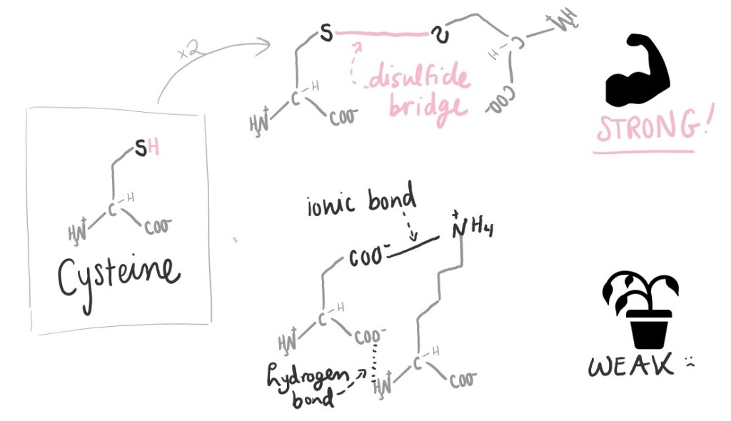 """Left: Diagram of cysteine, an amino acid. Off of a central carbon, there is an amino group, a carboxylic acid group, and an R group. The R group has a sulfur on the end of it.  Right: Two cysteines form a disulfide bridge, which is indicated as """"STRONG!"""" Ionic bonds and hydrogen bonds between other types of amino acids are indicated as """"WEAK :("""""""