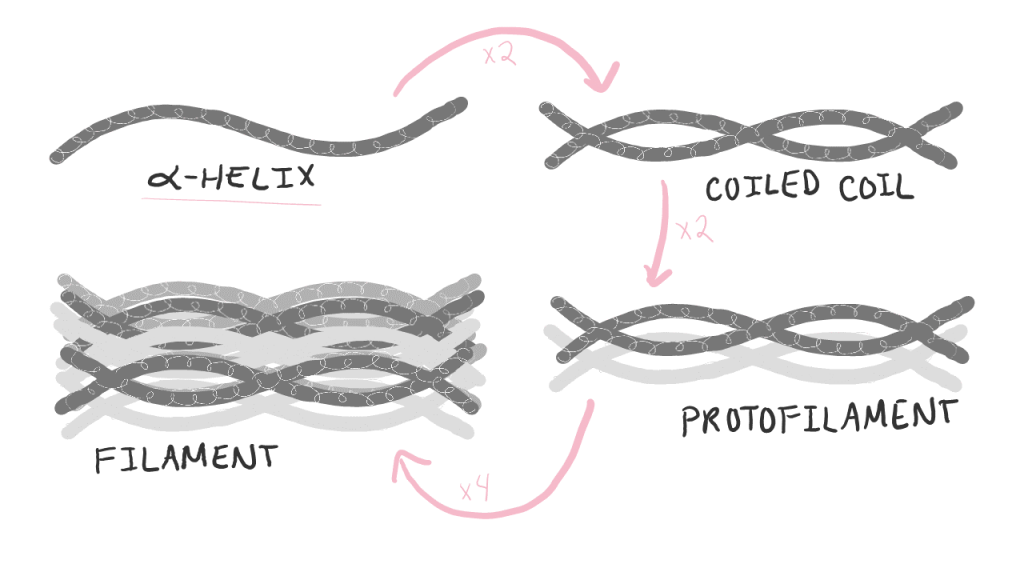 Diagram showing each level of keratin organization.  1. A single alpha helix 2. Two alpha helices make one coiled coil. 3. Two coiled-coils make a protofilament. 4. Four protofilaments make a filament.