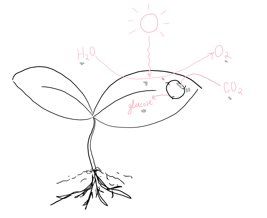 Sketch of photosynthesis. Water is shown entering the plant and being converted to oxygen by sunlight. Carbon dioxide is shown entering the plant, going through a cycle, and becoming glucose.