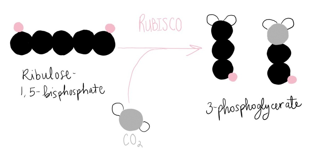 Rubisco adds carbon dioxide to ribulose-1,5-bisphosphate to generate two molecules of 3-phosphoglycerate.