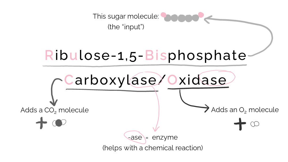 """Visual breakdown of Rubisco's """"long name."""" """"Ribulose-1,5-Bisphosphate"""" is a sugar molecule and is the input of Rubsico. """"Carboxylase"""" indicates that Rubisco adds carbon dioxide to something. """"Oxidase"""" indicates that Rubisco adds oxygen to something.  """"-ase"""" indicates that Rubisco is an enzyme (that is, a protein that helps with a chemical reaction)."""