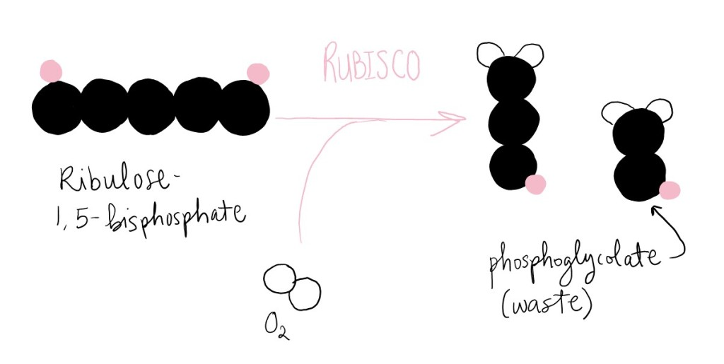 Rubisco adds oxygen to ribulose-1,5-bisphosphate to generate one molecule of 3-phosphoglycerate, and one molecule of phosphoglycolate (which is a waste product).
