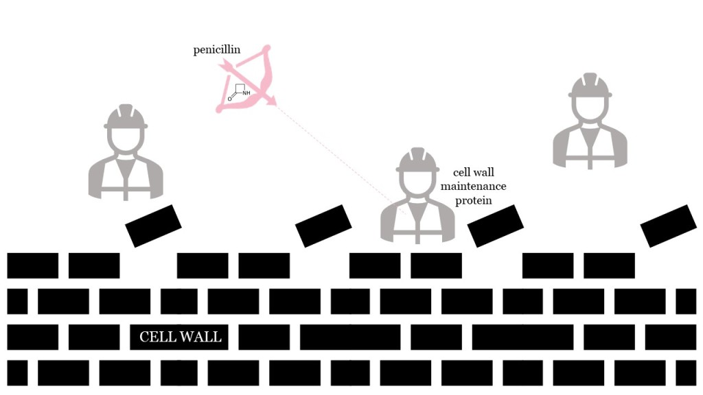 Penicillin (depicted as a bow-and-arrow) shoots at cell wall maintenance proteins (depicted as construction workers building a brick wall).