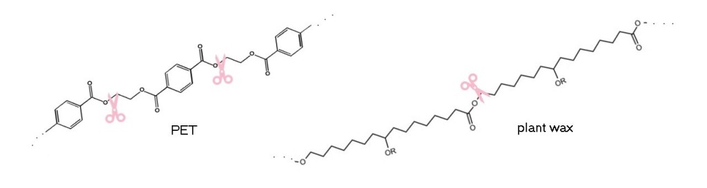 """Left panel shows the chemical structure of PET, with scissors """"cutting"""" a bond after an ester group (a carbon with a single bond to one oxygen and a double bond to another oxygen). Right panel shows the chemical structure of a plant wax, and again scissors are """"cutting"""" after an ester group."""