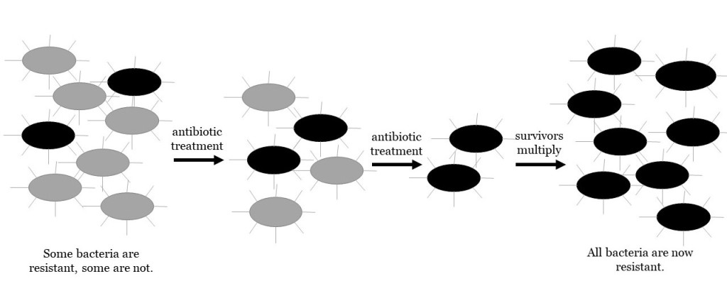 Sequence of events showing the spread of antibacterial resistance. Normal bacteria are shown as grey, and resistant bacteria are shown as black.   1. The population begins as a mixture of normal and resistant bacteria. 2. Antibiotic treatment kills normal bacteria. but leaves resistant bacteria behind.  3. The surviving resistant bacteria multiply to make a larger population in which all of the bacteria are resistant.
