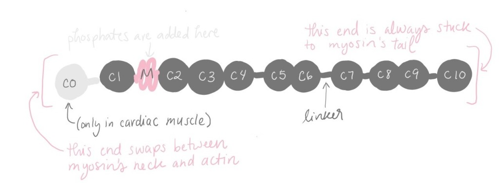 """Diagram of myosin binding protein c (MyBP-C) showing its """"beads on a string"""" structure. MyBP-C is made up of 10 """"beads."""" In cardiac muscle, there is an extra bead on one side. That side swaps between myosin's neck and actin. The other side is always stuck to myosin's tail. Between """"beads"""" 1 and 2, there is another piece called the """"M domain."""" This is where phosphates are added."""